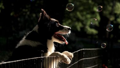 adoptar border collie