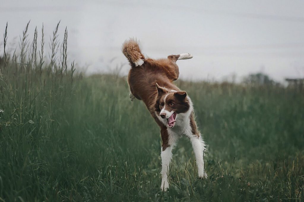 border collie saltando